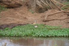 IMG 7976-Kenya, ducks in Kimana Reserve